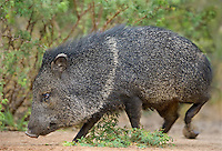 650520226 a wild javelina dicolytes tajacu on santa clara ranch in the rio grand valley hidalgo county texas united states