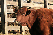 Saler beef cattle standing outside in barnyard