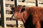 Saler beef cattle standing outside in barnyard