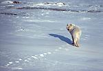 Arctic wolf, Canada