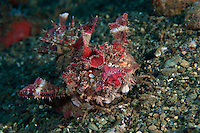 These venomous fish crawl around on the seabed using extensions of their fins like claws.  They are equipped with highly venomous spines.