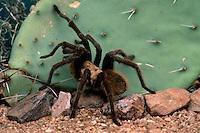 Arizona Blond Tarantula, Aphonopelma chalcodes; Sonoran Desert, Arizona