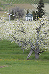 Historic farm house and pear orchard on Pioneer Avenue west of Cashmere, Washington in the Wenatchee Valley.  Wind machine in background is for frost control
