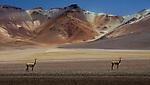 Altiplano, Bolivia vicunas, Eduardo Abaroa Andean Fauna National Reserve