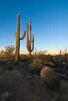 Saguaro Cactus Sunrise. Sunrise highlighting the Saguaro Cactus in Saguaro National Park in Arizona. The Giant Saguaro cactus is the universal symbol of the American West. The massive saguaro can live as long as 200 years, growing over fifty feet tall and weighing more than ten tons.