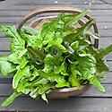 Lettuce 'Bronze Arrow', harvested at the end of June, 11 weeks after sowing.