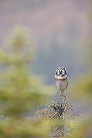 Northern Hawk owl perched on spruce tree in the Brooks mountain range, Arctic, Alaska.