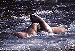 Steller sea lion bulls fight in ocean