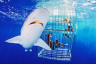 Galapagos shark, Carcharhinus galapagensis, and snorkelers in cage, offshore, North Shore, Oahu, Hawaii, USA, Pacific Ocean, Model Released - MR-000033, MR-000034
