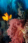Catalina Island, Channel Islands, California; Garibaldi (Hypsypops rubicundus) and Red Gorgonian (Lophogorgia chilensis) , Copyright © Matthew Meier, matthewmeierphoto.com All Rights Reserved