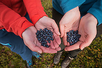 Two female hikers show hands full of freshly picked wild blueberries, Kungsleden trail, Lapland, Sweden