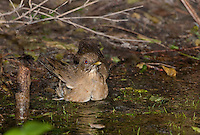 582040011 a wild clay-colored thrush tropical songbird turdus grayi bathes in a small waterhole at the valley nature center in weslaco rio grande valley texas united states