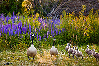 """Geese at Lake Forest, Tahoe""- This family of Canadian Geese was on its way to breakfast at Lake Forest Beach Park."