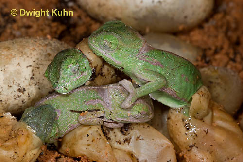 CH43-538z  Veiled Chameleon young hatching from eggs, Chamaeleo calyptratus