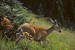 Deer on the move on Hurricane Ridge near Port Angeles Olympic Peninsula Washington State USA