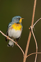 561000032 a wild male northern parula setophaga americana - was parula americana perches on a small plant near caddo lake in marion county texas