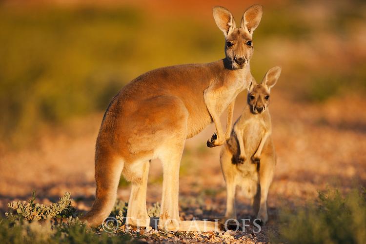 red kangaroo female and joey | Theo Allofs Photography