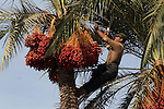 Palestinian workers collect bundles of dates harvested from a palm trees during the annual harvest in Khan Younis in the southern Gaza Strip, on September 30, 2015. Photo by Abed Rahim Khatib