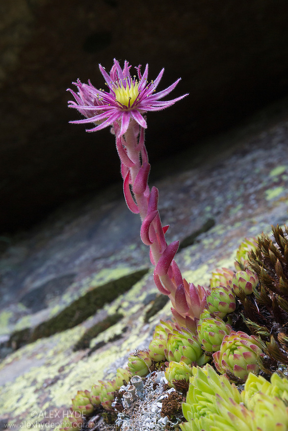 Mountain Houseleek {Sempervivum montanum} growing amongst rocks on scree slope. Nordtirol, Austrian Alps, July.