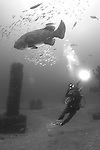 Goliath Grouper and diver, Jupiter, Florida