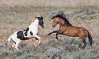 McCullough Peaks Wild Horses 2015