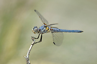 389270008 a wild male bleached skimmer libellula composita perches on a dead twig at blackrock springs inyo county california