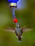 Hummingbirds can be attracted even in the colder Winter months like this one stopping by for some sugar water.. .