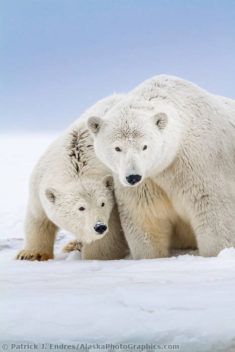 Polar bear sow and cubs on a snow covered island in the Beaufort Sea on Alaska's arctic coast.