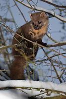 Baummarder, Männchen, Rüde klettert im Winter bei Schnee in einem Baum, Baum-Marder, Edelmarder, Edel-Marder, Marder, Martes martes, European pine marten