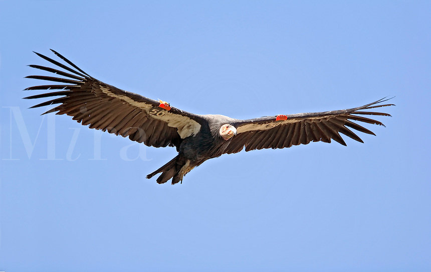 California condor (Gymnogyps californianus), soaring flight against ...: miraimages.photoshelter.com/image/i0000a9boyrmxxwc