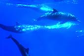 Underwater stock photo of common dolphins