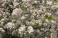 Kultur-Apfel, Apfelbaum, Apfel - Baum, Apfelbaumblüte, Malus domestica, Apple, Pommier commun