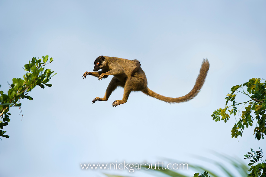 Female Common Brown Lemur (Eulemur fulvus) with infant on her back, leaping through the forest canopy. Dry deciduous forests near Anjajavy, north west Madagascar.