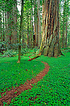 Trail through sorrel and old growth Redwoods in the Stout Grove, Jedediah Smith Redwoods State Park, Redwood National Park, California USA