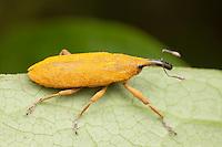 Rhubarb Weevil (Lixus concavus), Ward Pound Ridge Reservation, Cross River, Westchester County, New York