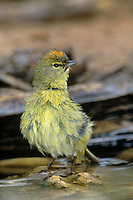 592218006 a wild orange-crowned warbler vermivora celata stands in a pond after bathing in the rio grande valley in south texas