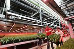 Foto: VidiPhoto<br /> <br /> ANDIJK - Topdrukte in tulpenflat. Bij tulpenkweker Niels Kreuk uit Andijk (N-H) wordt woensdag koortsachtig gewerkt aan de productie van Valentijnstulpen. Zaterdag is het Valentijnsdag. Na de roos is de tulp internationaal de meest populaire Valentijnsbloem. De Andijkse tulpenbroeier produceert 10 miljoen stelen per jaar in zogenoemde meerlagenteelt in zijn kassen van 7 meter hoogte. Tulpenteelt in 'flats' van drie etages met behulp van led-verlichting levert hem ondermeer een besparing in gasverbruik op van 55 procent. Bovendien wordt de kasruimte meer dan 60 procent effici&euml;nter benut. Er zijn inmiddels meer dan 25 tulpenkwekers die ge&iuml;nvesteerd hebben in de innovatieve productie in meerdere teeltlagen. De bloembollensector wil koploper zijn op <br /> gebied van duurzaamheid in agrarisch Nederland. Kreuk kreeg onlangs de Award Duurzaam Ondernemen voor innovatie in de tulpenteelt.