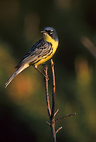 Kirtland's Warbler, Dendroica kirtlandii, in Jack Pine; Michigan