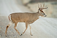 Whitetail buck crossing the road in Montana