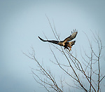 Rough-Legged hawk (buteo lagopus) in flight hunting for prey in the winter
