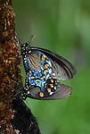 Mating spicebush swallowtail butterflies