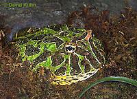 """1216-07tt  Ornate Horned Frog - Ceratophrys ornata """"Brazil"""" - © David Kuhn/Dwight Kuhn Photography."""