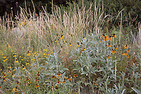 Ratibida and gray foliage ragweed (Ambrosia) plant in meadow with flowering Western Wheatgrass grass at Denver Botanic Garden