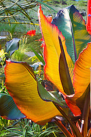 Using a boldly foliage and colored tropical plant like ornamental banana Musa that shines and catches the backlight  in the garden with other hot colored flower perennials such as Crocosmia, daylilies Hemerocallis