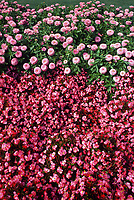 Zinnia 'Fantastic Light Pink with Begonia 'Olympic Pink', pink color theme annuals flower garden bed border