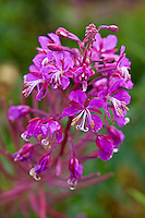 Fireweed, TAlkeetna