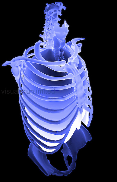 A superior anterolateral view (right side) of the respiratory system relative to skeleton. Royalty Free