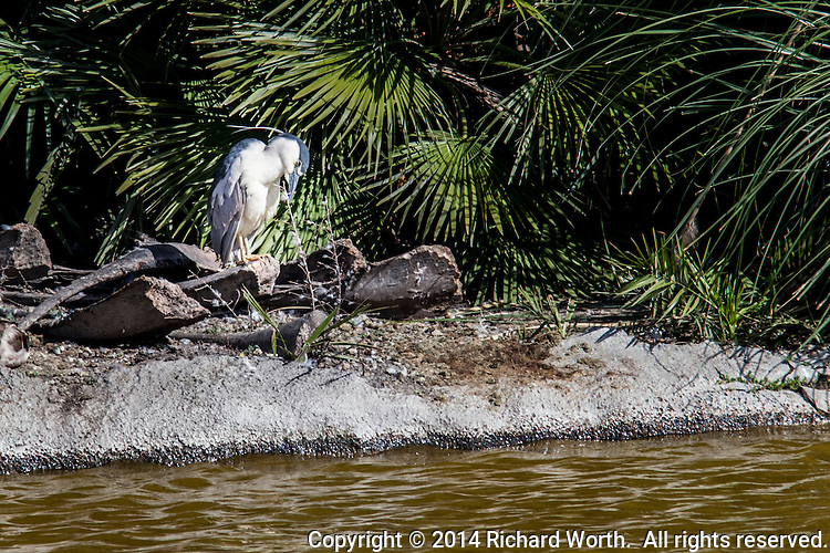 A Black-crowned night heron rests and grooms itself on the shore of an island in the Duck Pond park in San Lorenzo, California.