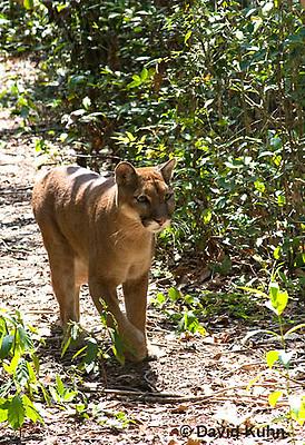 0525-1103  Costa Rican Cougar (Puma), Belize, Puma concolor costaricensis  © David Kuhn/Dwight Kuhn Photography