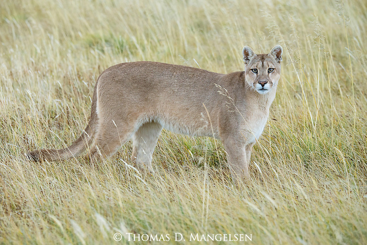 A Puma stands in the tall grass in Patagonia, Chile.